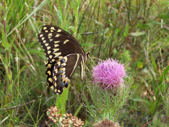 Swallowtail at St. Marks