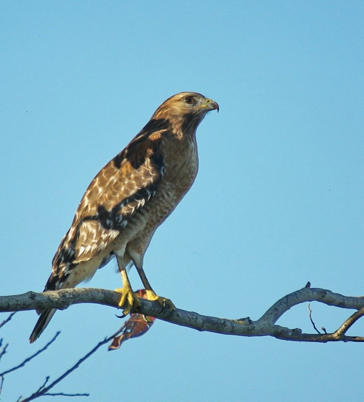 Red-Shouldered Hawk in the Shadows in Tree