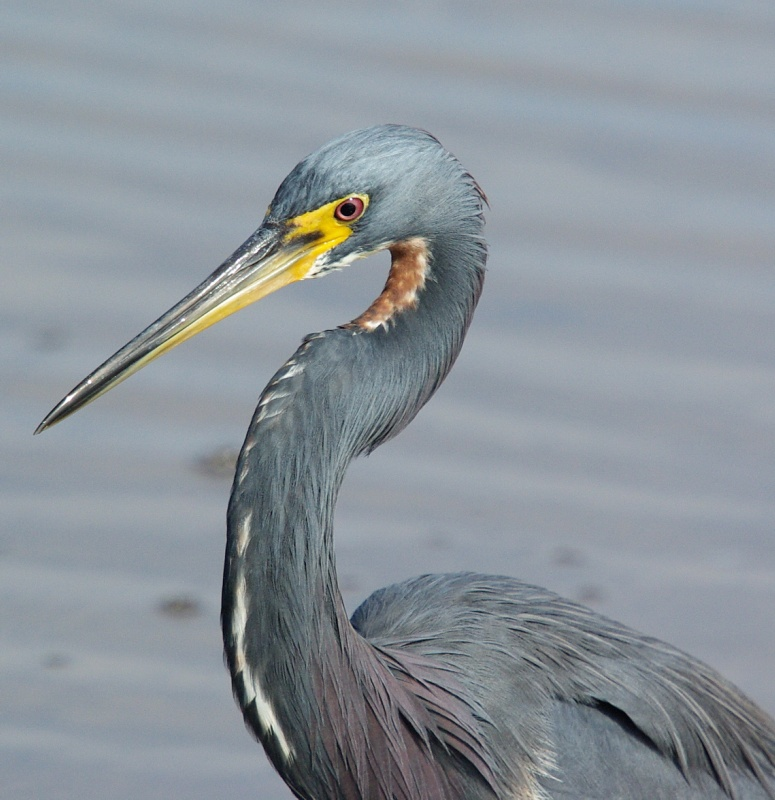 Tri-color Heron with soft ripples