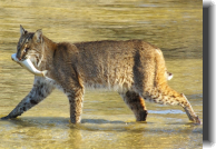 A Bobcat with Mullet at the Refuge